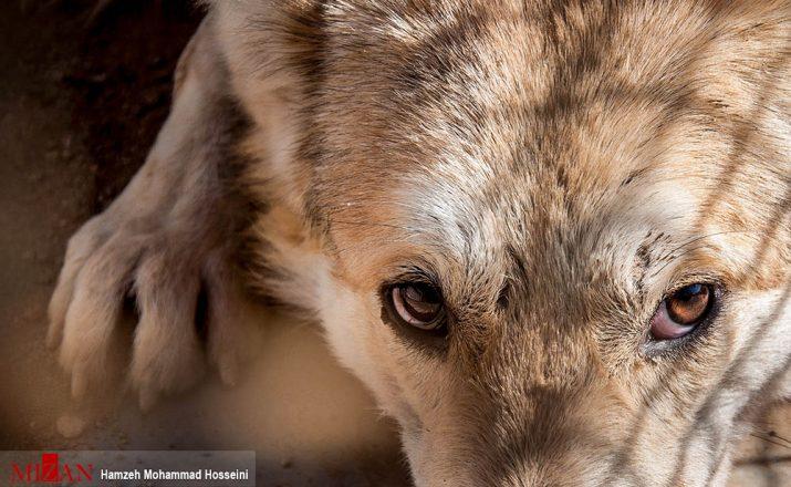 یک قلاده گرگ که به همراه سگهای ولگرد در شهر آبسرد به دام افتاده بود صبح امروز به طبیعت ...